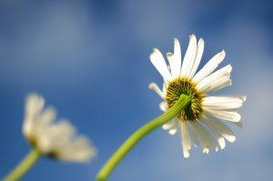 quote_flowerdaisy-