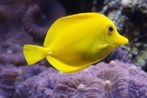 lemon-doktorfisch-793384_640